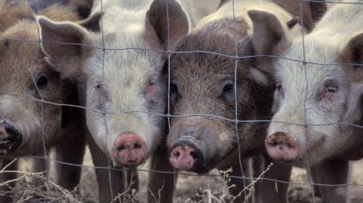 Pig Patent? Monsanto's Efforts to Claim Ownership